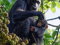 Gorillas and Chimpanzee Tracking Safaris