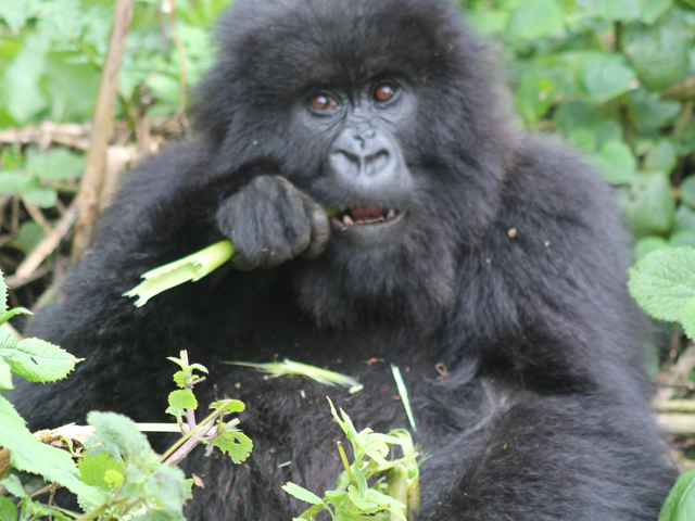 Chimpanzee, Gorilla Habituation and Wildlife Tour - Uganda Photos