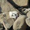 Inca Skulls