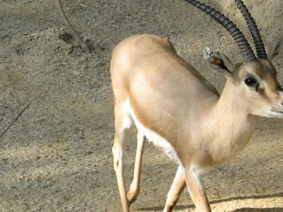 Indian Gazelle