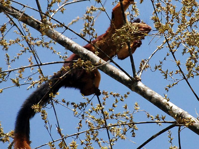 Indian Giant Squirrel In Satpura National Park