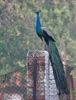 Indian Peacock Sultanpur Park