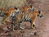 Indian Tiger Cubs