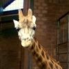 Indoor  Giraffe  House  Belfast  Zoo