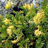The Ivesia Plant