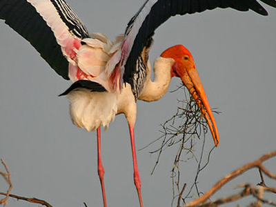 Jaimangala Garh Island - Painted Stork