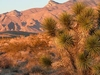 Joshua Tree And Muddy Mountains