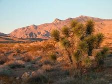 Joshua Tree And Muddy Mountains