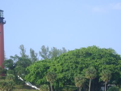 Jupiter  Lighthouse And  Banyan  Tree