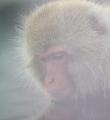Macaque In Outdoor Bath