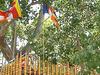 Sacred Fig Tree Jaya Surrounding Sri Maha Bodhi