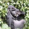 Kahuzi Gorilla