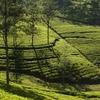 Kandy Tea Plantations