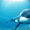 Keiko At The Aquarium In 1998