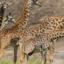 Kenya Best Safari