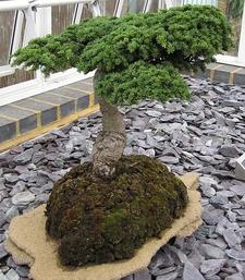 Kew Bonsai