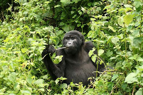 5 Days Chimp And Gorilla Tracking Photos