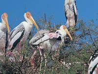 Kokkrebellur Pelicanry Bird Sanctuary