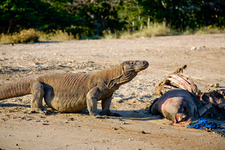 Komodo Dragon Searching Meal