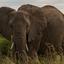 Elephant In Maasai Mara