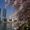 Kyū-Yodo River And Cherry Blossom
