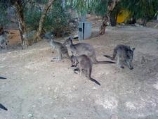 Kangaroos At Park