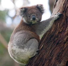 Koala In Great Otway National Park