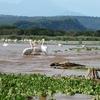 Lake Chamo Pelicans @ Arba Minch - Ethiopia