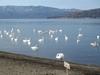 Lake Kussharo Sunayu With Swan