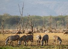 Zebras In Lake Manyara National Park
