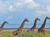 Ngorongoro,Serengeti And Lake Manyara National Park Safari