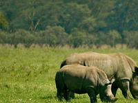 Masai Mara, Nakuru, Amboseli - Drive to Nairobi