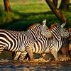 Lake Nakuru Zebras