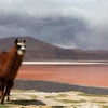 Lama By Laguna Colorada In Bolivia