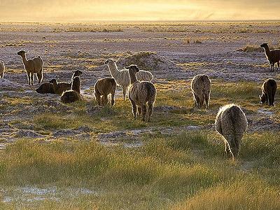 Lamas Im San Pedro De Atacama