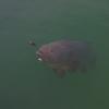 Large Grouper In SEAFDEC Igang Marine Substation