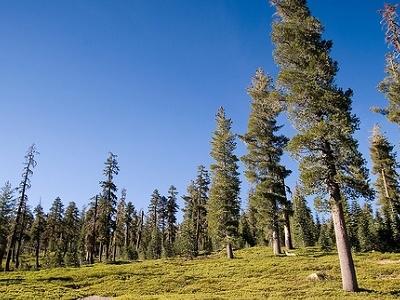Lassen Trees Near Medford OR