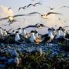Layang-Layang Island - Birds