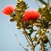 Lehua Blossoms, Hawaii