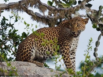 Leopard At Yala National Park