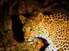 Leopard In Indravati National Park
