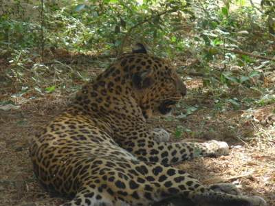Leopard In Sanjay Gandhi National Park