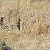 A Leopard Stalking Through The Grass