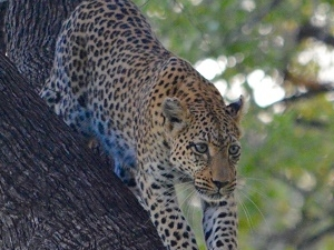Leopard Trail - 12 Days Safari Photos