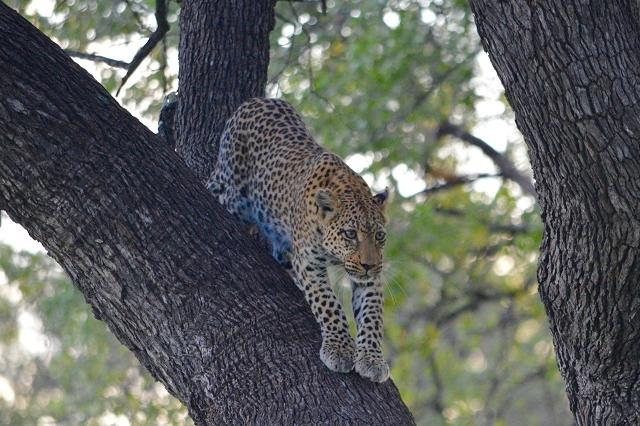 Leopard Trail - 12 Days Safari Photos