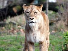 Lion, Berlin Zoo