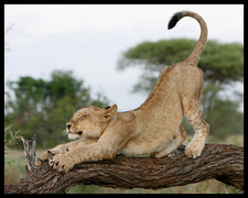 Lion Cub Stretching In The Kruger National Park