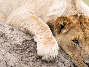 6 Days 5 Nights Amboseli, Lake Naivasha And Masai Mara Photos