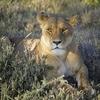 Lioness @ Ndutu Conservation Area In Tanzania