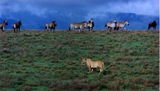 Lioness Zebras And Wildbeast In Ngorongoro Crater